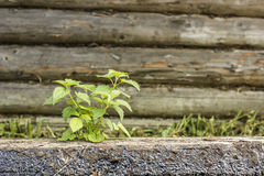 Young green nettle grew by old log on the background wooden wall Royalty Free Stock Images
