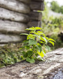 Young green nettle grew by old log on the background wooden wall Stock Image