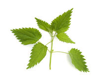 Young green nettle isolated Royalty Free Stock Photos