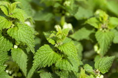 Young green nettle Stock Image