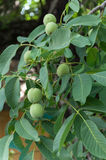 Young green nuts on the tree with leaves Stock Photography