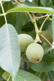 Young green nuts on the tree with leaves Stock Photo