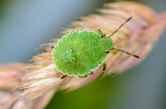 Green nymph bug with black dots on a shell sits on a leaf of grass. Young green nymph bug with black dots on a shell sits on a leaf of grass Stock Image