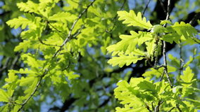 Young green oak leaves. In springtime stock video
