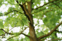 Young green oak tree leaves in spring day Stock Photos