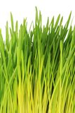 Young green oat shoots - white background Stock Photos