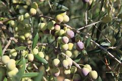 Young Green Olives Hang on Branches Stock Image