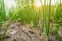 Young green onion in the garden, view from below. Close-up royalty free stock images