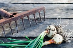Young green onion and old garden rake on an old wooden surface stock photo