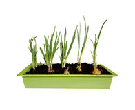 Young green onions Stock Images