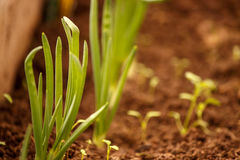 Young green onions in the garden in the greenhouse. Young green onions in the garden in a greenhouse in loose soil Stock Image