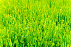 Young green paddy Royalty Free Stock Photo