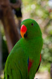 Young green parrot Royalty Free Stock Image