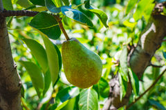 A young green pear. Freshness fruit from the nature. Used to making juices. Stock Images