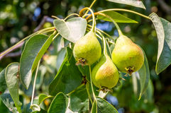 Young green pears Royalty Free Stock Photography