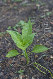 Young Green Pepper Plant in Wet Soil Royalty Free Stock Image