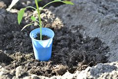 Young green pepper seedling in a Cup for seedlings is prepared for planting in the open ground of the soil. The concept of. Agriculture. Background stock photos