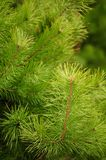 Young Green Pine Branches Stock Photo