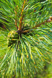 Young green pine cone on branch Royalty Free Stock Photography