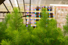 Young green pine fir-tree close-up. Young green fir-tree branches closeup, christmas background Royalty Free Stock Photo