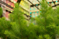 Young green pine fir-tree close-up. Young green fir-tree branches closeup, christmas background Stock Images