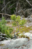 Young green pine on the moss Stock Image