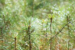 Young green pine needles. Background. Abstraction. Royalty Free Stock Image
