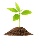 Young green plant. Growing from pile of soil isolated on white background stock photo
