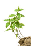 Young green plant Royalty Free Stock Photo