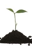 Young green plant Royalty Free Stock Photography