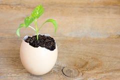 Young green plant in eggshell Royalty Free Stock Image