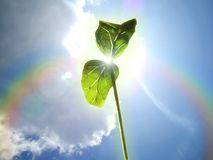 A young green plant germ extends to the spring sun. royalty free stock photo