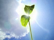A young green plant germ extends to the spring sun. royalty free stock images