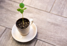 Young green plant. Young green plant growing in a cup on the floor Royalty Free Stock Image