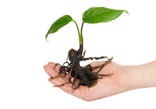 Young green plant in hand Stock Photos