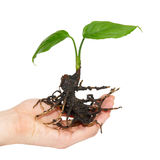 Young green plant in hand Stock Images