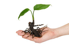 Young green plant in hand Royalty Free Stock Image