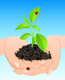 Young green plant in hands Stock Photo