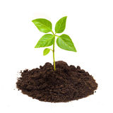 Young green plant isolated on a white background Stock Images