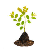 Young green plant isolated on white background Royalty Free Stock Photography