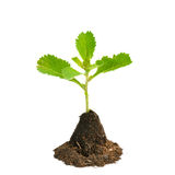 Young green plant isolated on white background Stock Images