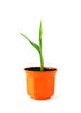 Young green plant in orange pot Royalty Free Stock Photography