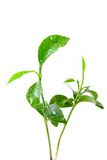 Young green plant of orange tree Royalty Free Stock Photos