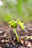 Young green plant with water on it growing out of brown soil. Royalty Free Stock Image