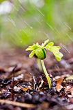 Young green plant with water on it growing out of brown soil. Stock Photos