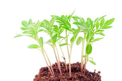 Young green plant. On a white background Stock Photos