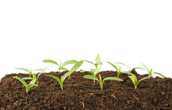 Young green plants Royalty Free Stock Photos