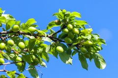 Young green plum fruit on a tree, blue sky background.  royalty free stock images