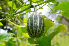 Young green pumpkin. Stock Images