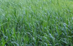 Young green reeds. Summer evening, horizontal frame Stock Photos